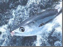albacoretuna