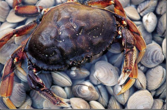 Dungeness Crab and Manilla Clams